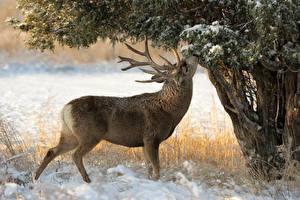 Фото Олени Зима Рога Деревья Снег Животные