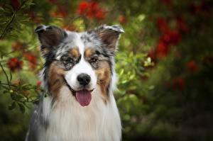 Фотографии Собаки Австралийская овчарка