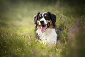 Картинка Собаки Австралийская овчарка Животные