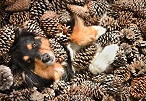 Фотография Собаки Австралийская овчарка Шишки Животные