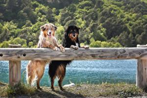 Обои Собаки Австралийская овчарка Двое Ограда Взгляд Мокрые Животные