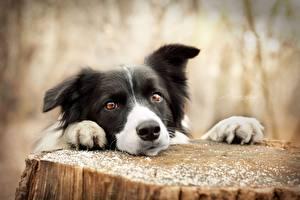 Фото Собаки Бордер-колли Смотрит Пень