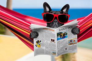 Фотографии Собаки Бульдог Очки Газета Забавные Животные