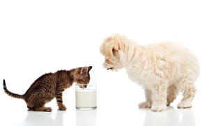 Обои Собаки Коты Молоко Мальтийская болонка Белый фон Котята Щенок Стакан 2