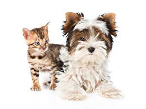 Фотография Собаки Кошка Белом фоне Двое Йоркширский терьер