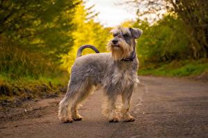 Фотографии Собаки Дороги Шнауцер Животные