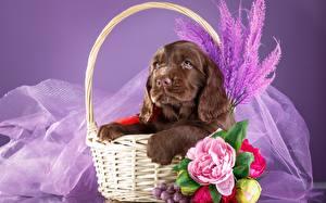 Картинка Собаки Спаниель Коричневый Корзинка Животные