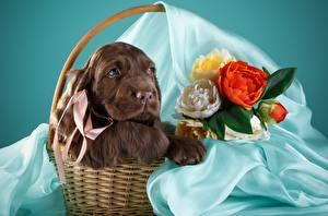 Фото Собаки Спаниель Корзина Коричневый Животные
