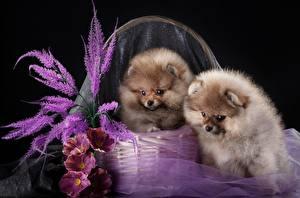 Картинки Собаки Шпиц 2 Корзинка