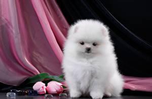 Обои Собаки Шпиц Белый Пушистый