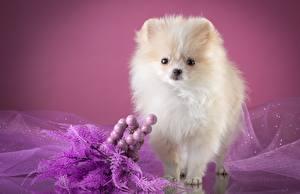 Картинки Собаки Шпиц Белый Смотрит