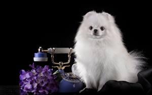 Обои Собаки Шпиц Белый Телефон Черный фон Животные