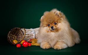 Картинка Собаки Шпиц Корзина Смотрит Животные