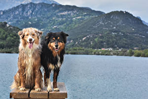 Картинки Собаки 2 Австралийская овчарка Смотрит