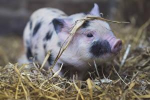 Фотография Домашняя свинья Детеныши Солома Животные