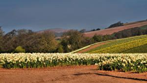 Фото Англия Поля Нарциссы Весна Lower Tregantle Cornwall Цветы
