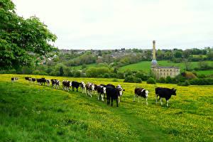 Фотографии Англия Луга Корова Трава Стадо Chipping Norton Животные