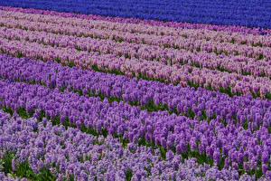 Картинка Поля Гиацинты Много Цветы