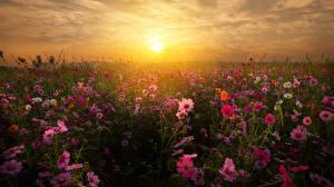 Фото Поля Рассветы и закаты Космея Цветы