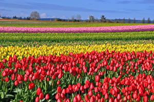 Обои Поля Тюльпаны Много Цветы картинки
