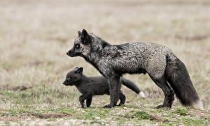 Фотографии Лисица Детеныши Вдвоем Черных животное