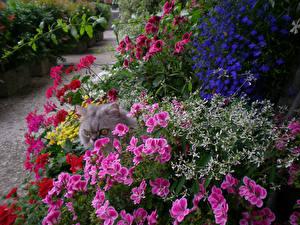 Картинки Сады Герань Lobelia