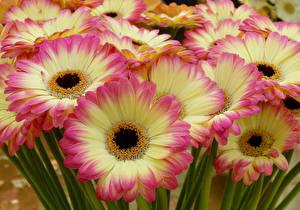 Фотография Герберы Вблизи Цветы
