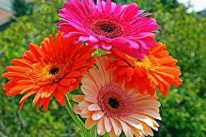 Фото Герберы Крупным планом Цветы