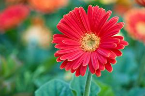 Фотография Герберы Вблизи Красный Цветы