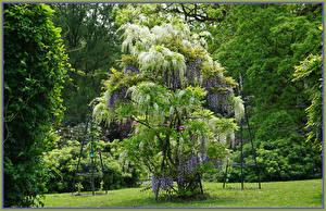 Фотографии Германия Парки Глициния Grugapark Essen Природа