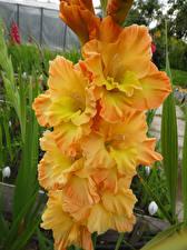 Обои Гладиолусы Вблизи Желтый Цветы