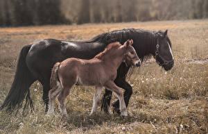 Фотография Лошади Детеныши Две Животные