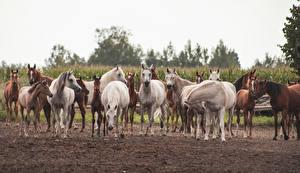 Картинки Лошади Много Детеныши Животные