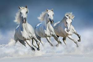 Картинка Лошади Белый Трое 3 Бег Животные