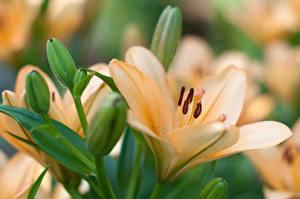 Фотографии Лилии Крупным планом Бутон Цветы