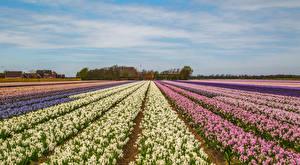 Фотографии Нидерланды Поля Гиацинты Много Цветы
