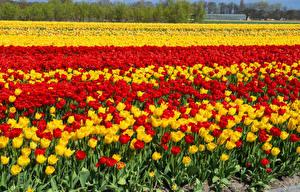Фотография Нидерланды Поля Тюльпаны Много Keukenhof