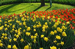 Фото Нидерланды Парки Нарциссы Тюльпаны Много Keukenhof Цветы