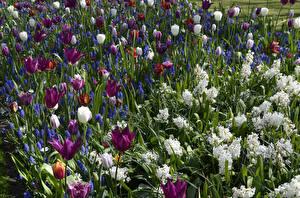 Обои Нидерланды Парки Гиацинты Тюльпаны Много Keukenhof Цветы
