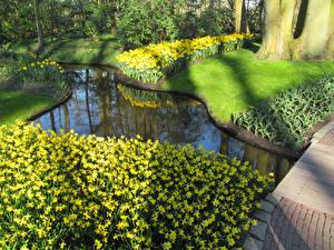 Обои Нидерланды Парки Пруд Нарциссы Газон Keukenhof Природа картинки