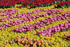 Обои Нидерланды Парки Тюльпаны Нарциссы Много Keukenhof