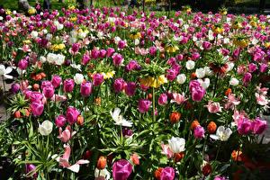 Обои Нидерланды Парки Тюльпаны Рябчик Keukenhof