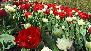 Фотография Нидерланды Парки Тюльпаны Keukenhof