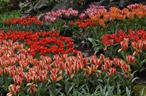 Картинки Нидерланды Парки Тюльпаны Много Keukenhof