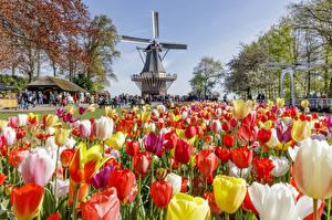 Картинка Нидерланды Парки Тюльпаны Много Мельница Keukenhof Природа Цветы
