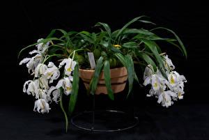 Обои Орхидеи На черном фоне Белых Цветочный горшок Цветы