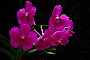 Фотография Орхидеи Вблизи Черный фон Розовый Цветы