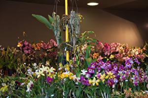 Фотографии Орхидеи Много