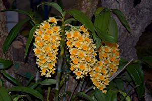 Картинки Орхидеи Желтый Цветы