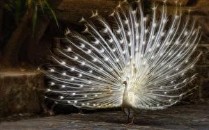 Фотография Павлины Птицы Белый